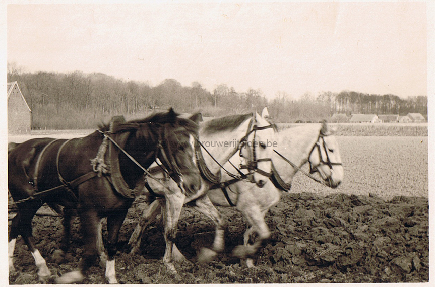 51_fotos_1955_Paarden_land_2.jpg
